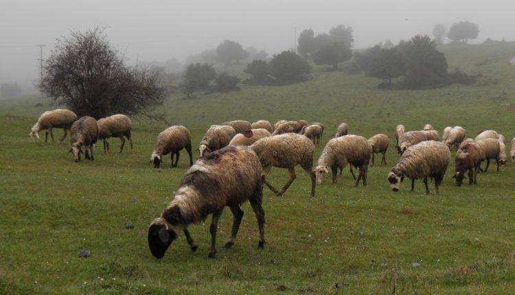 Στο στόχαστρο οι παράνομες ελληνοποιήσεις κρέατος